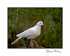"""Gabriel"" Domestic Dove (Pied Dove)<br /> <br /> Columbina passerina<br /> <br />  <br /> <br /> Doves come in any number of color variations--ranging from the pure white coloration used in ceremonies and weddings to a mixed mottled look of white with tan; white with gray; white and brown, white, gray and brown, etc. They can be found all over the world in suburban and agricultural areas, wherever humans have gone. They like to live in open country and grasslands, low trees, shrubs, and buildings.<br /> <br /> Gabriel is a resident of the Sulphur Creek Nature Center and is used in many of the pre-school educational classes as a touchable animal."