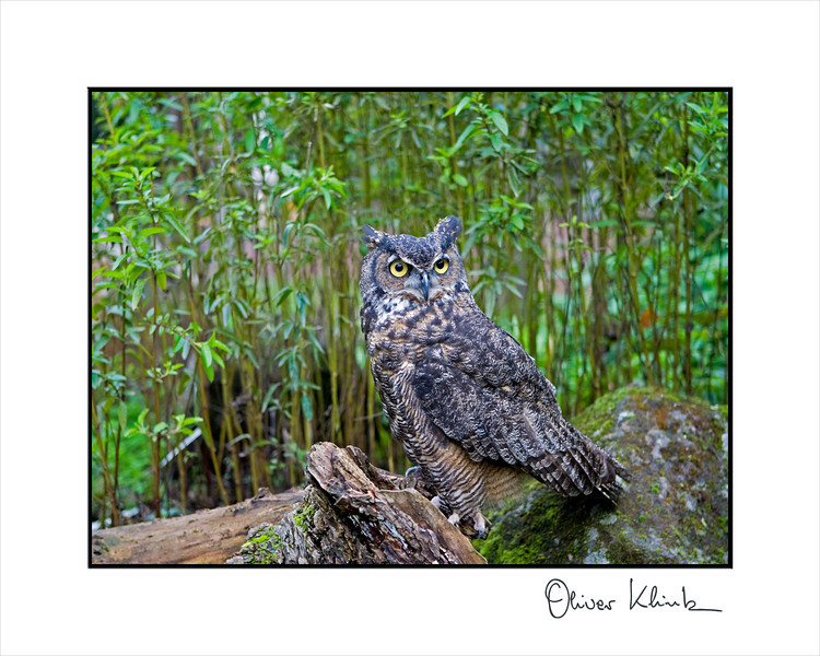 """Boris""  Great-horned owl  <br /> Bubo virginianus <br /> <br />  <br /> <br /> Boris, came to  Sulphur Creek in November 1985.  She, originally believed to be a male, was found walking in a backyard with a broken wing which had already healed improperly from a past injury.  She was an adult at the time of her injury and became a resident as without the use of her wing, she would not be able to fly or find food.  She is kept company by another female Great-horned owl in a large outside enclosure."