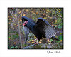 """Prince Charming"" Turkey Vulture<br /> <br /> Cathartes aura <br /> <br />  <br /> <br /> Prince, came to Sulphur Creek on October 24, 1989 after being found in Oakland with an injured wing.  He was underweight and missing the tip of his left wing.  Without a complete wing he would not be able to fly or soar the warm air currents.  He now resides at Sulphur Creek with another injured turkey vulture and is a favorite for the over 20,000 school children that visit him each year."