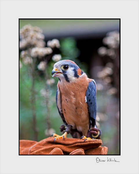 """""""Tom Thumb""""  American Kestrel<br /> <br /> Falco sparverius<br /> <br />  <br /> <br /> Tom Thumb, was brought to Sulphur Creek in August of 2001 as an adult.  He was found at the Hayward Airport, unable to fly. An exam showed that he was missing the tip of his left wing and as member of the falcon family, flight is the key to his survival.  Today he resides in an outside enclosure another resident kestrel."""