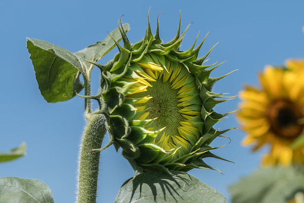 Sunflowers at Lyman Orchards