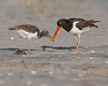 American Oystercatcher feeding it's chick on Sunset Beach, NC in June.