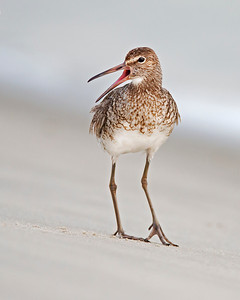 willet yacking on Sunset Beach, NC in June during the nesting season.