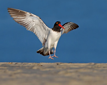 American Oystercatcher coming in for a soft landing on Sunset Beach, NC in June.  One of a pair that spent the day guarding and feeding a single chick, mostly mussels.  The pair appeared to be very loyal to the family unit and were protective against other oystercatchers and willets that entered their territory in the dunes.