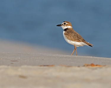 Wilson's Plover going for a stroll on Sunset Beach, NC in June.