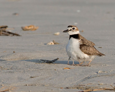 Wilson's Plover mom with two chicks under cover on Sunset Beach, NC in June.