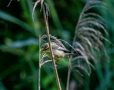 A juvénile Bluetit in amongst the reeds