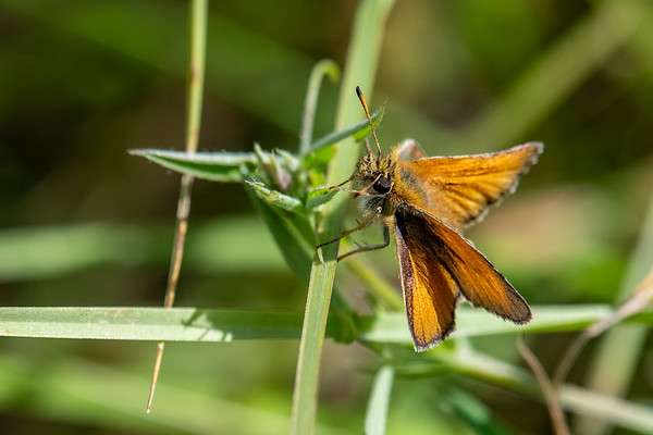 A Skipper Butterfly