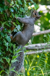 Grey Squirrel near the feeders