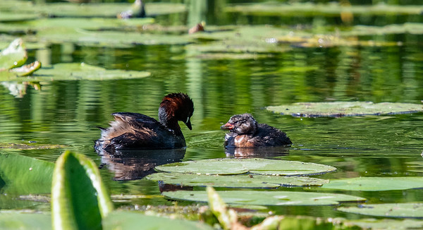 Mother and chick - Little Grebes