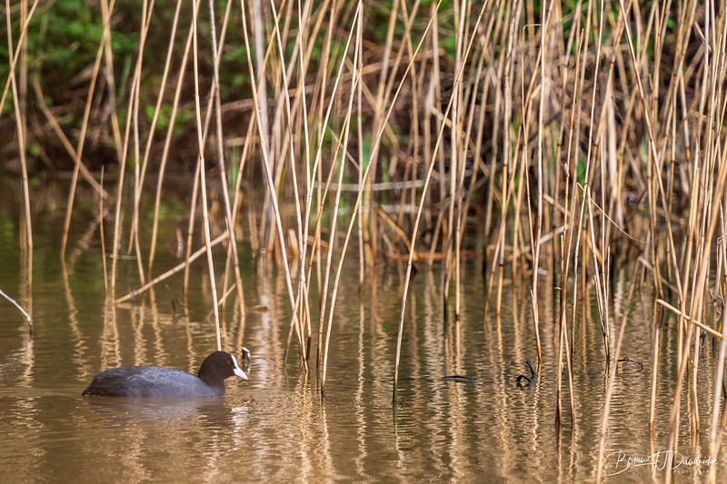 A Coote in the reeds