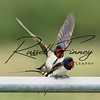 Swallow russellfinneyphotography (2)