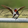 Swallow russellfinneyphotography (11)