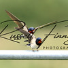 Swallow russellfinneyphotography (5)