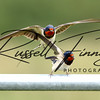 Swallow russellfinneyphotography (6)