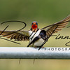 Swallow russellfinneyphotography (12)