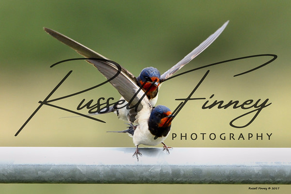 Swallow russellfinneyphotography (4)