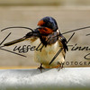 Swallow russellfinneyphotography (1)