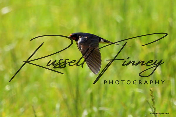 Swallow russellfinneyphotography (13)