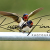 Swallow russellfinneyphotography (9)