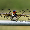 Swallow russellfinneyphotography (10)