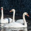 Mute Swan 25 Nov 2018-7062
