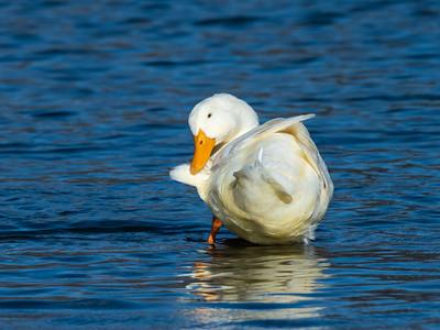 Duck 29 Nov 2018-7548