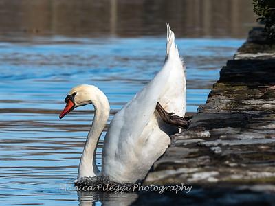 Mute Swan 25 Nov 2018-7123