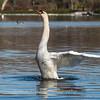 Mute Swan 25 Nov 2018-7131