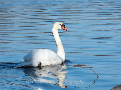Mute Swan 25 Nov 2018-7142
