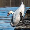 Mute Swan 25 Nov 2018-7122