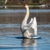 Mute Swan 25 Nov 2018-7127