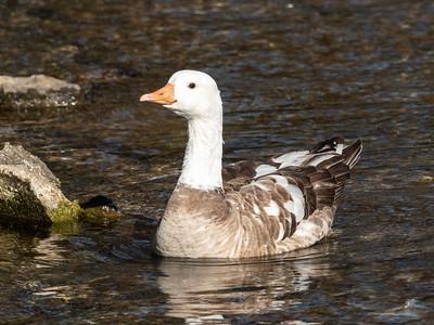 Duck 29 Nov 2018-7396