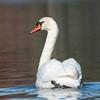 Mute Swan 25 Nov 2018-7146