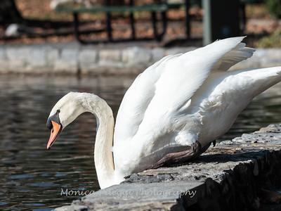 Mute Swan 25 Nov 2018-7258