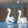 Mute Swan 25 Nov 2018-7155
