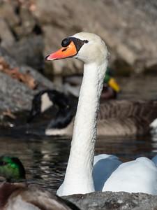 Mute Swan 29 Nov 2018-7426