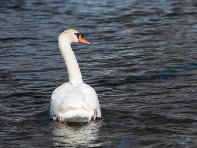Mute Swan 29 Nov 2018-7500