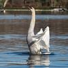 Mute Swan 25 Nov 2018-7130
