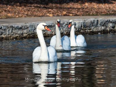 Mute Swan 25 Nov 2018-7264