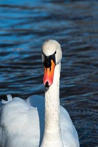 Mute Swan 29 Nov 2018-7643