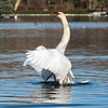 Mute Swan 25 Nov 2018-7126