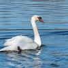 Mute Swan 25 Nov 2018-7144