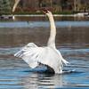 Mute Swan 25 Nov 2018-7129