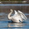 Mute Swan 25 Nov 2018-7132