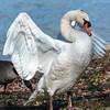 Mute Swan 25 Nov 2018-7114