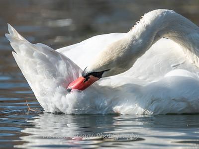 Mute Swan 25 Nov 2018-7257
