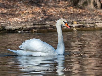 Mute Swan 25 Nov 2018-7184