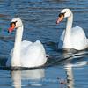 Mute Swan 25 Nov 2018-7084