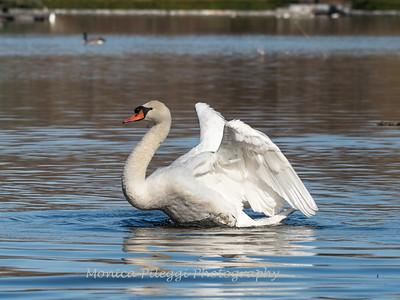 Mute Swan 25 Nov 2018-7133